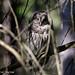 Barred Owl by Deborah Kral