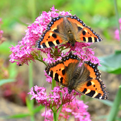 The Mating Game ... Small Tortoiseshell Butterflies