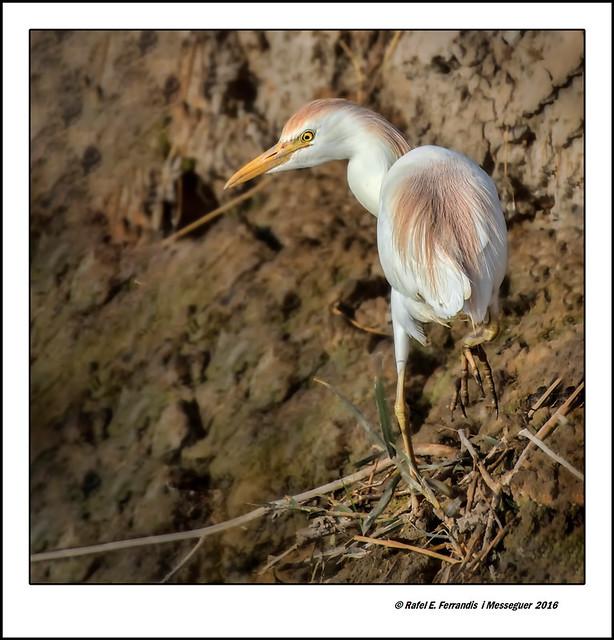 Esplugabous buscant menjar en una séquia (Bubulcus ibis ) Cattle Egret searching for food in a drift (Sueca, Valencia, Spain)