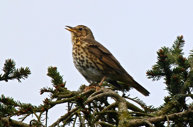 IMG_2350 Song Thrush