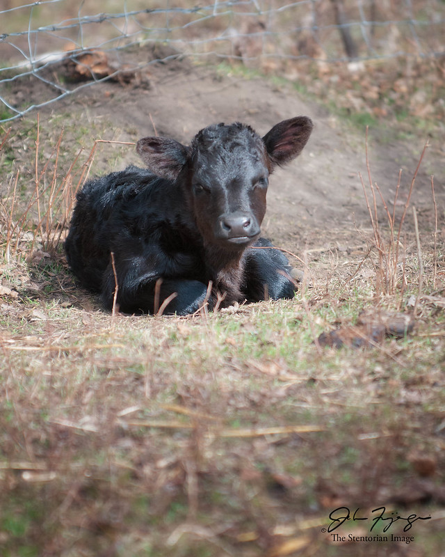 Little Black Calf