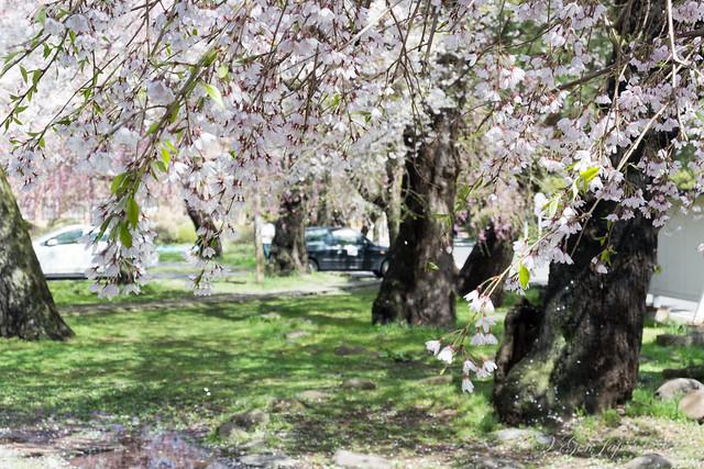 東北大学 片平キャンパスの桜