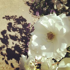 Roses are white. #shadows #california #roses #flowers