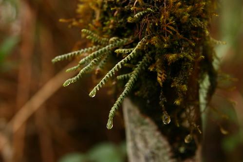 不只是樹木的枝葉能攔截水氣,霧林裡豐富的附生植物也對森林水文涵養具有不可忽視的生態功能(圖片攝影:徐嘉君)