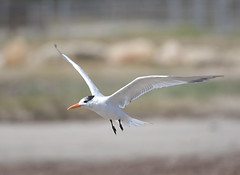 Regal Tern in Flight