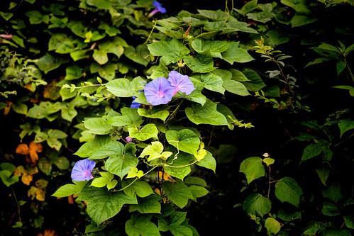 morning flowers plants canon eos vines texas outdoor ef2470mmf28lusm smalltown topaz 6d libertycounty