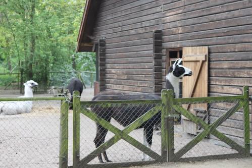 lamas behind a fence