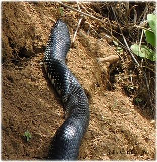 """Rat Snake"""