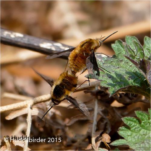 Bee fly [Bombylius major]