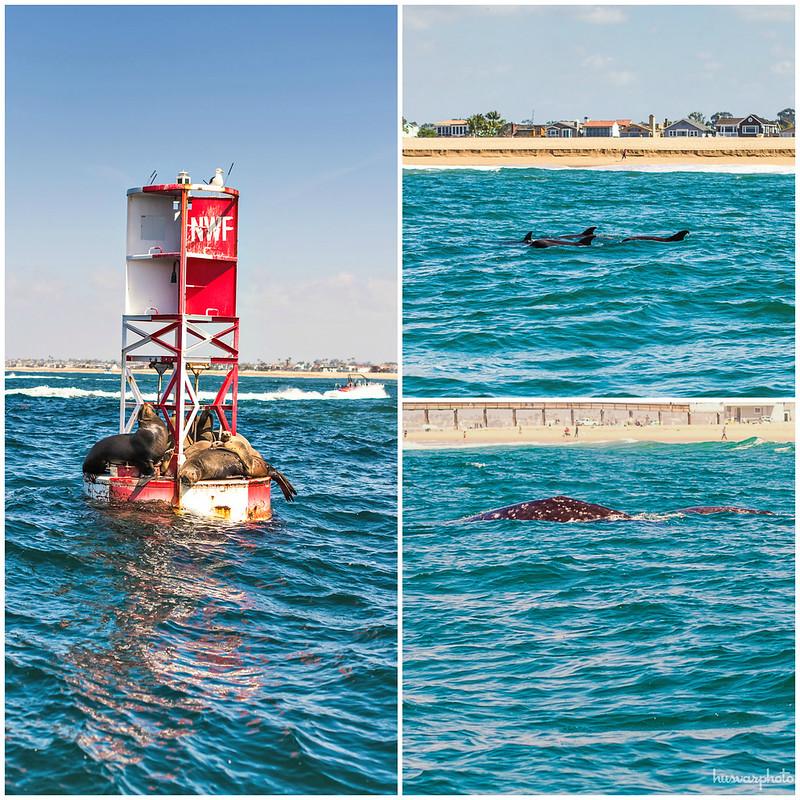 whale watching newport beach balboa island