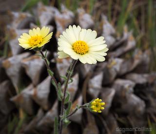 Layia glandulosa, White Layia with Pinecone