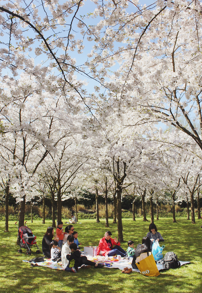 Cherry blossoms in Amsterdam Japanese hanami picnic