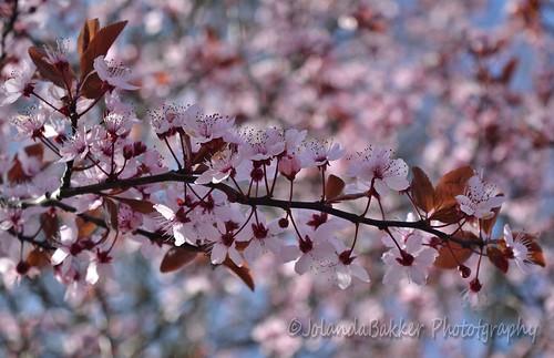 April's pink blossom