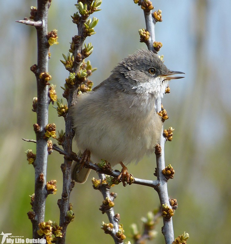 P1120467_2 - Whitethroat, Machynys