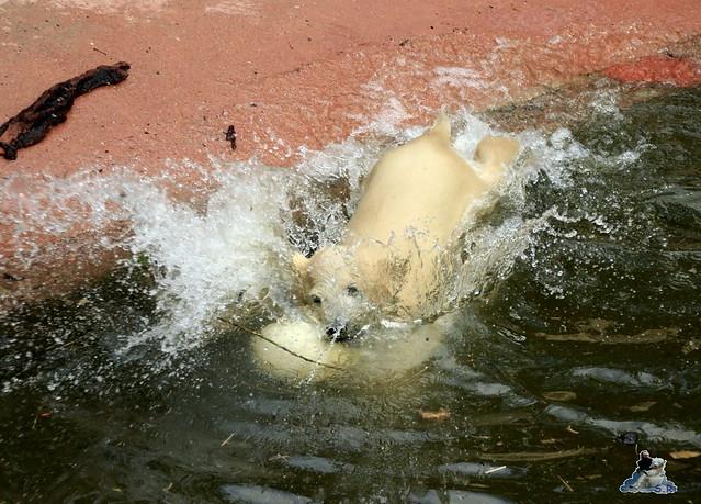 Eisbär Fiete im Zoo Rostock 04.05.2015 264