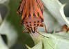 Shield bug close-up