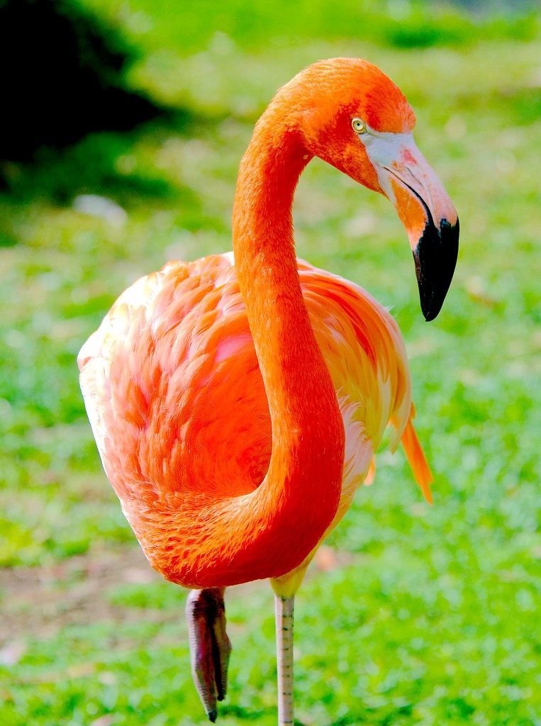 Caribbean Flamingo (Phoenicopterus ruber ruber)_2