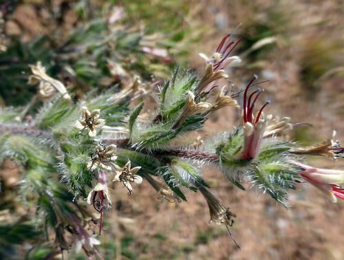 Echium asperrimum Lam. 1792 (BORAGINACEAE)
