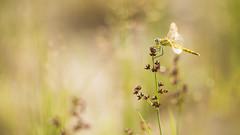 Zwervende heidelibel (Sympetrum fonscolombii )