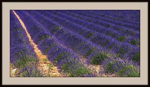 FRANCE - Provence, Lavendelfelder bei Riez, 12561/4981