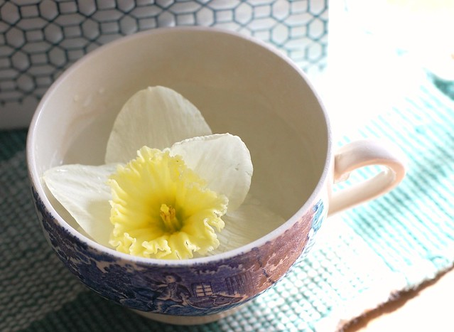 daffodil in a teacup