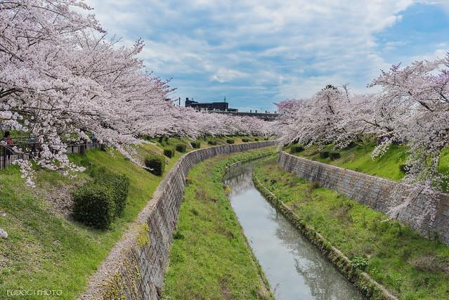 山崎川櫻花