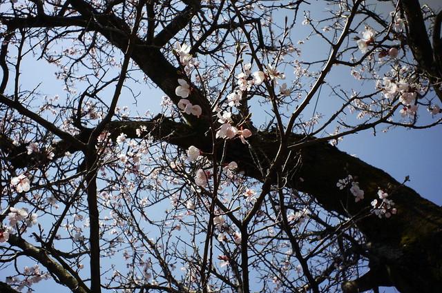 あんずの花BCL1580
