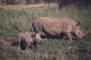 rhino and calf grazing in the African bush