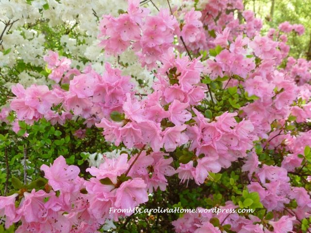 Azaleas late April 2015 - 3
