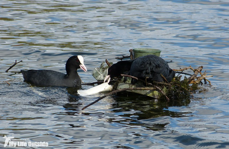 P1120189 - Coot, Cardiff