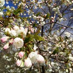 Blossom #Grasmere #Cumbria