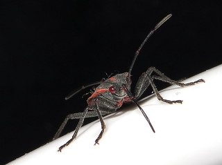 Boxelder Bug with Stylet Extended on April 18, 2015  Macro taken  with a Canon SX280 HS IMG_8460