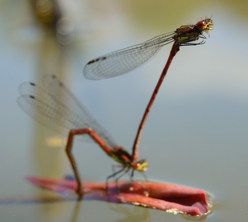 Frühe Adonislibelle - Large Red Damselflies, Oviposition - Pyrrhosoma nymphula