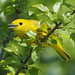 American Yellow Warbler by Jean-François Hic