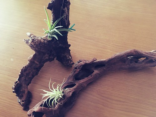 AirPlants (5)