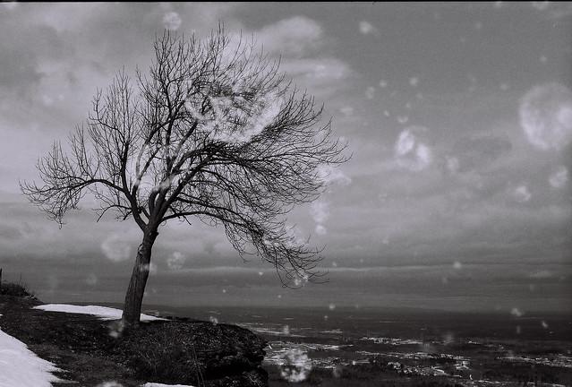 Standing tree at Thacher Park overlook