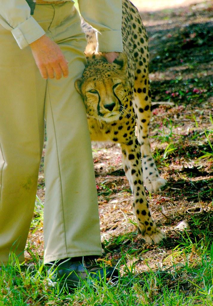 Cheetah (Acinonyx jubatus)_15