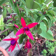 shrub(1.0), flower(1.0), leaf(1.0), plant(1.0), flora(1.0), fuchsia(1.0),