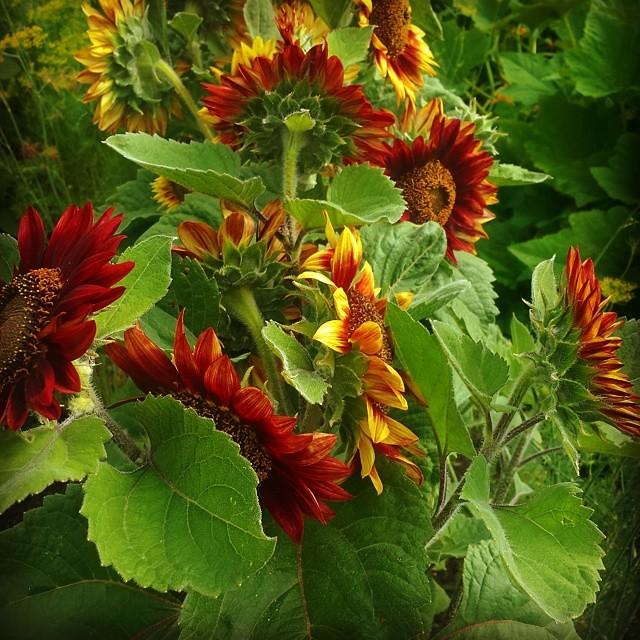 Solrosen Floristan i Wij trädgårdar - The sunflower Floristan in Wij gardens August  2014