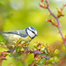 Blue tit on rambling rose by Martin Cooper Ipswich