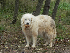 romanian mioritic shepherd dog(0.0), estrela mountain dog(0.0), karakachan dog(0.0), sarplaninac(0.0), dog breed(1.0), animal(1.0), polish tatra sheepdog(1.0), dog(1.0), caucasian shepherd dog(1.0), maremma sheepdog(1.0), slovak cuvac(1.0), livestock guardian dog(1.0), carnivoran(1.0), great pyrenees(1.0),
