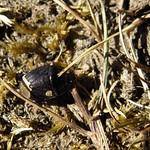 világosfarú földipoloska - Sehirus luctuosus