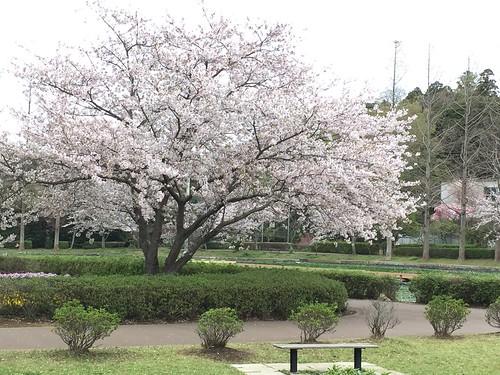 21_袖ヶ浦公園の桜_2