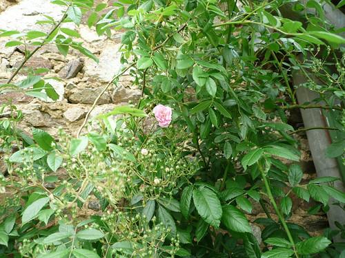 David Austen rambler about to flower