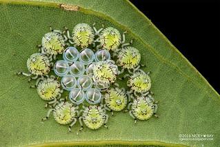Stink bug hatchlings (Pentatomidae) - DSC_1982