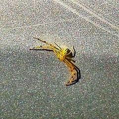 Crab spider #spider #wanderr