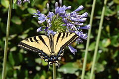 This Two-Tailed Swallowtail is feeding on my front yard flowers.