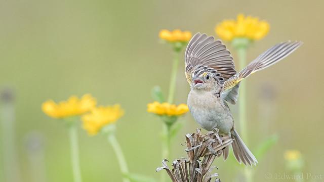 Ed Post - Grasshopper Sparrow (Ammodramus savannarum)
