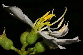 Melastoma cyanoides