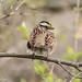 White-throated Sparrow 2187.jpg